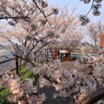 桜と海01_0026